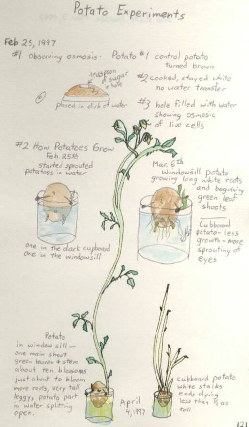 potato experiment science notebook